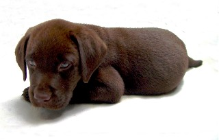 Chocolate lab Brooker