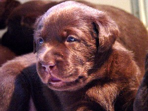 Chocolate Lab 3