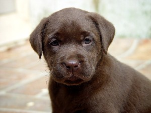 Chocolate Lab 4
