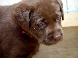 Chocolate Lab 8