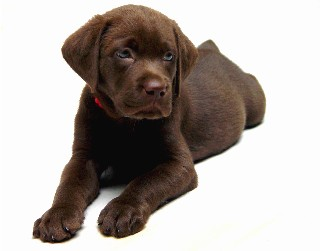 Chocolate pup,